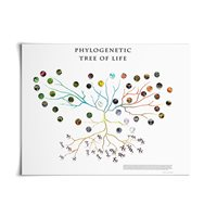 Phylogenetic Tree Of Life Chart